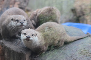 otters at axe valley park